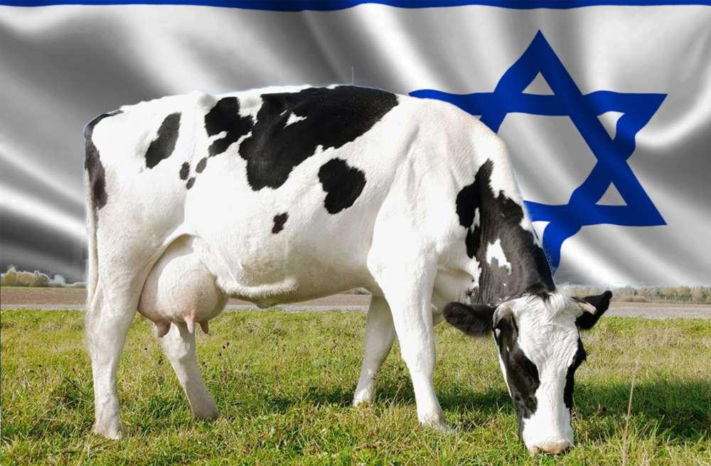 Vaca_israel